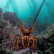 Motion blur on the antennae of a California Spiny Lobster