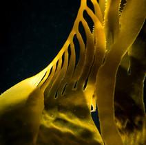 Macrocystis pyrifera Giant Kelp, Santa Barbara, CA