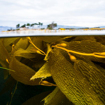 Kelpbed off Coal Oil Point, Santa Barbara, CA