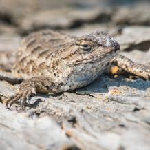 Western Fence Lizard, Southern California