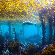 Harbor Seal swimming through a shallow kelp forest in Big Sur, CA