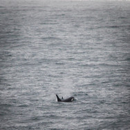 Orcas, Point Arena CA