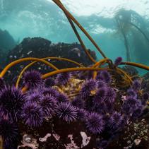Bull Kelp being eaten alive by Purple Urchins in Mendocino, CA