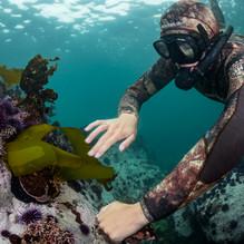 Kaira feeding a Red Abalone some loose kelp