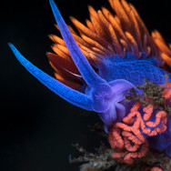A Spanish Shawl Nudibranch atop some freshly laid eggs