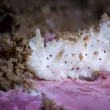 A Salt-and-Pepper dorid found in about 20ft of water off Coal Oil Point. This species is usually found at about 1/2 inches in length, but stands out due to its bright white coloration.