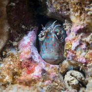 Hypsoblennius gilberti, Santa Barbara, CA