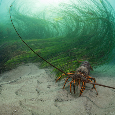 A California Spiny Lobster wandering among the surf grass in the shallows.