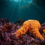 Ochre Sea Stars in the shallows, Big Sur, CA