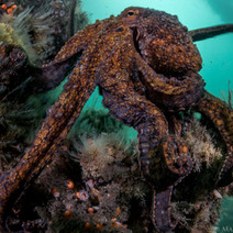 A Two-Spot Octopus Patrolling the reef.