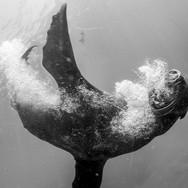 California Sea Lion, Channel Islands, CA.