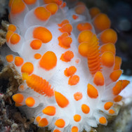 A colorful McDonald's Dorid Nudibranch, about 1/2 of an inch in length.