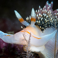 A Large Hilton's Aeolid Nudibranch found in about 25ft of water off Coal Oil Point. This species of nudibranch is known to eat smaller nudibranchs, including its own species. This one was a little over two inches long.