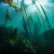 Bull Kelp in Central California