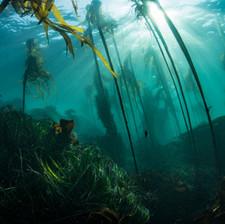 Healthy Kelp Forest