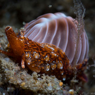 """A California Coffee Bean Trivia Cowrie. One of the few species of Cowrie we have here in California. The mantle of the snail inside wraps up and around its shell to keep it nice and shiny/void of external growth. This one was about 1/2"""" long."""