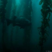 Giant Black Seabass lurking in a deep, dark Channel Islands Kelp Forest.