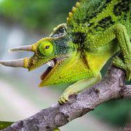Male Jackson's Chameleon, Oahu, Hawaii