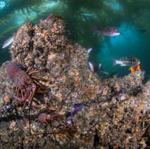 A classic California reef Scene. Everything from Lobster, to fish, to nudibranchs. This is what much of the reef looks like off Coal Oil Point.