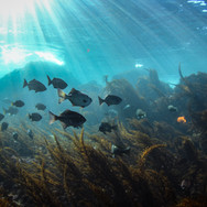 Shallow reef happenings off Santa Cruz Island, CA