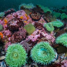 A population of healthy Red Abalone and Green Anemones in the krill clouded waters of Mendocino, CA