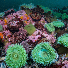 A healthy population of Green Anemones and Red Abalone among clouds of Krill in Mendocino, CA