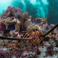 California Spiny Lobster, Holding down the reef.