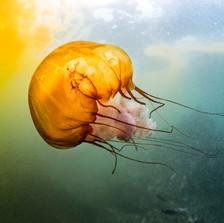Sea-Nettle Jellyfish in algae bloom