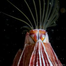 A barnacle, Filter feeding.