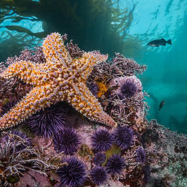 Giant Sea Star, Big Sur, CA
