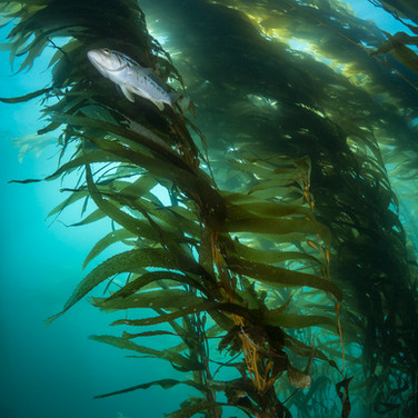 Looking up at a Calico Bass hovering underneath columns of kelp. A common sight on the reef out here.