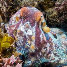 A California Two-Spot Octopus showing off its colors.