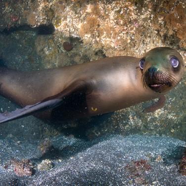California Sea Lion, Channel Islands, CA