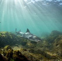 A little three foot long Leopard Shark making its way through the shallows.