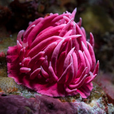 Hopkins rose Nudibranch