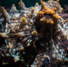 Amazing textures on the skin of this small octopus found hunting the reef during the daytime in about 15ft of water.