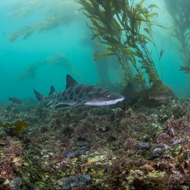 Although most of the leopard sharks are found in shallow water, sometimes they make their way out onto the reef.