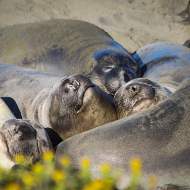 Northern Elephant Seals, Central Coast, CA