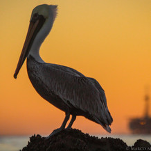 Pelican, Santa Barbara, CA