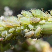 Aphids, Southern California.