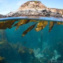 Macrocystis pyrifera Giant Kelp and Sargassum in Big Sur, CA