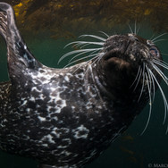 Harbor Seal, Carmel, CA