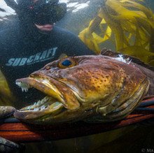 Stevie Page with a nice central coast Lingcod