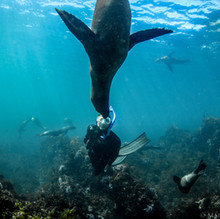 Sutara Nitenson, face to face with a California Sea Lion off the Channel Islands, CA.