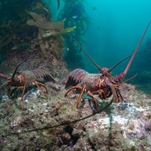 Three decent sized California Spiny lobster out in the open, a large California Sheepshead in the background.