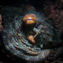 A baseball-sized Two-Spot Octopus tucked into the reef off Coal Oil Point