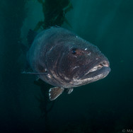 A Giant Black Seabass seen off the Channel Islands, CA.