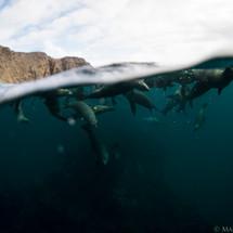 Localism. California Sea Lions, Channel Islands, CA.