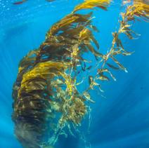 Macrocystis pyrifera Giant Kelp, Channel Islands, CA