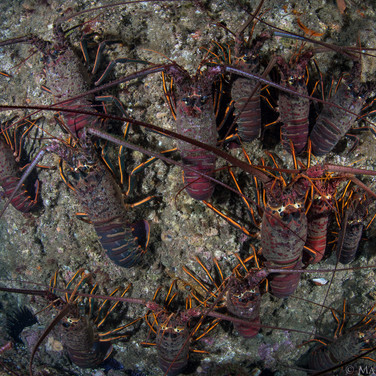 California Spiny Lobster, stacked on the wreckage of the old oil pier.